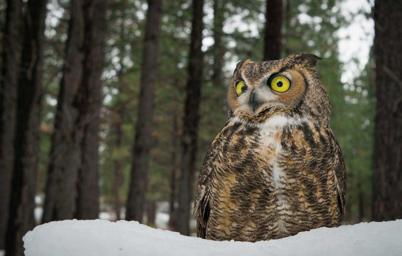 Фото обои снег, деревья, сова, птица, глазища, Виргинский филин