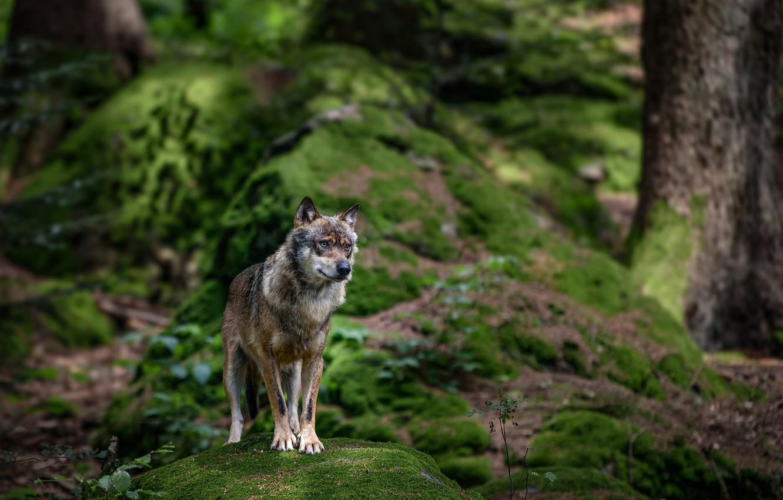 Фото обои лес, природа, камень, волк, мох