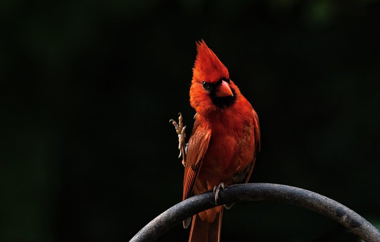 Фото обои красный, птица, red, bird, кардинал, Angry Birds, cardinal, Красный кардинал, Энгри Бердс, Red Cardinal
