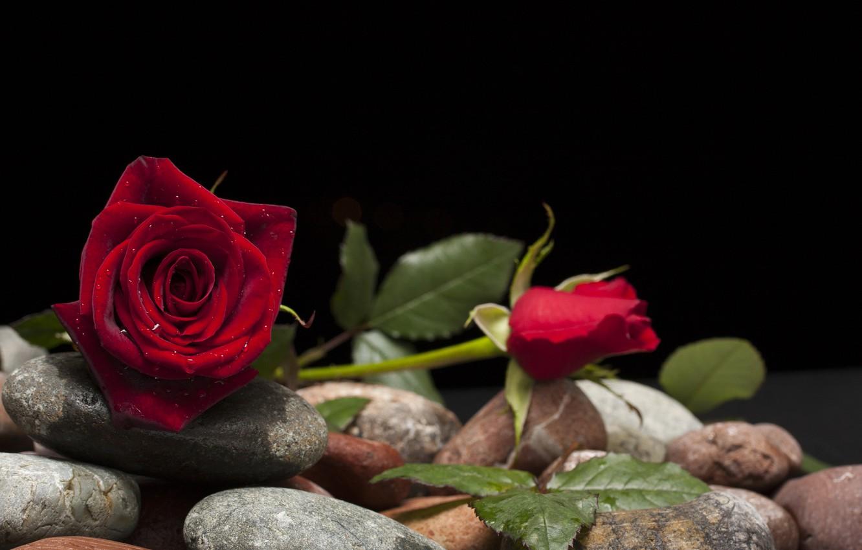 Фото обои цветок, камни, роза, бутон