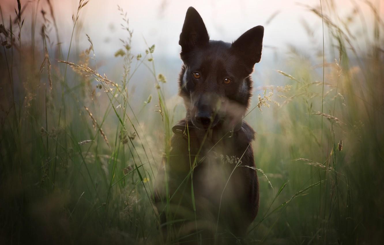 Фото обои поле, лето, трава, морда, природа, стебли, портрет, собака, луг, черная, немецкая овчарка, пёс, овчарка, немецкая, ...