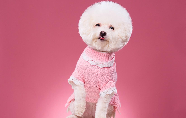 Фото обои фон, стрижка, портрет, собака, кофточка, фотосессия, Бишон фризе