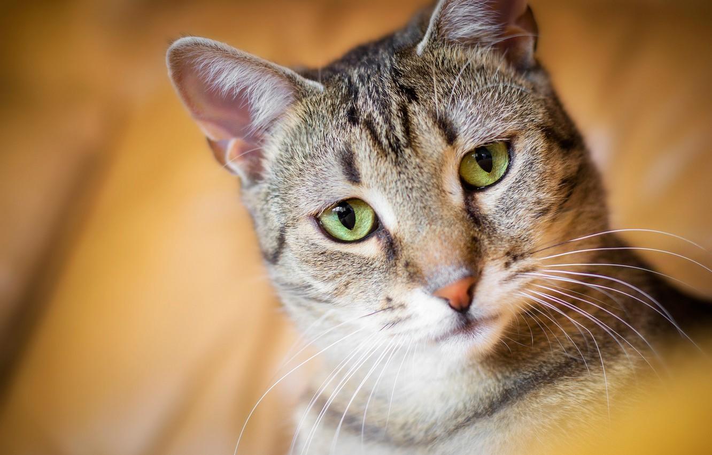 Фото обои кошка, кот, взгляд, портрет, мордочка, боке