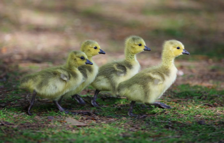 Фото обои дети, фон, утки, малыши