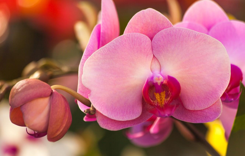 бутоны орхидеи фото для