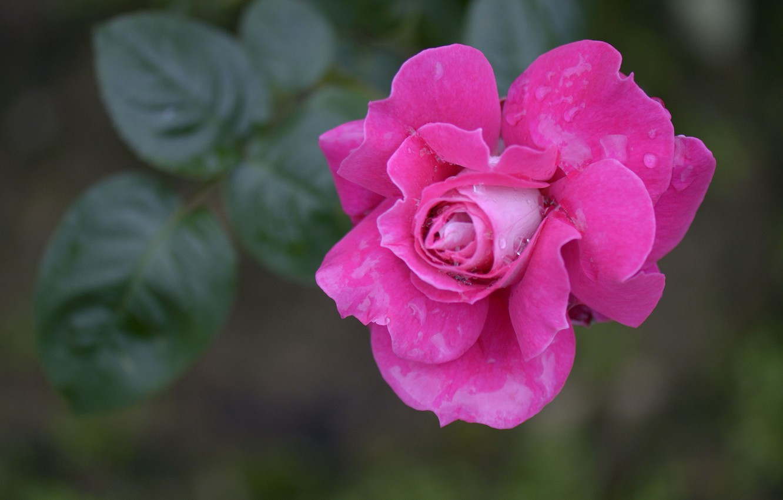Фото обои капли, макро, роса, роза, лепестки, бутон
