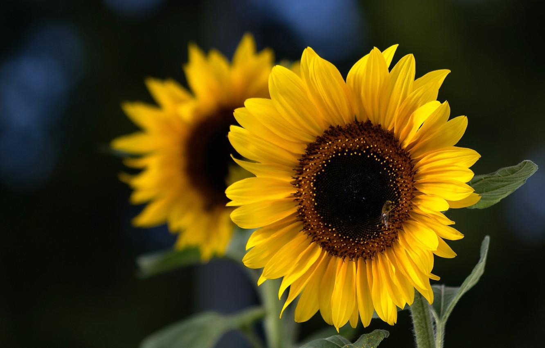 Фото обои подсолнухи, лепестки, Sunflower
