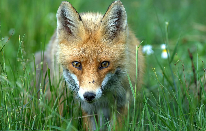 Фото обои зелень, лето, трава, мордочка, лиса, лис, рыжая, лисица, боке