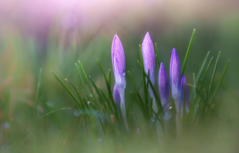 Фото обои цветы, фокус, весна, крокусы, крокус