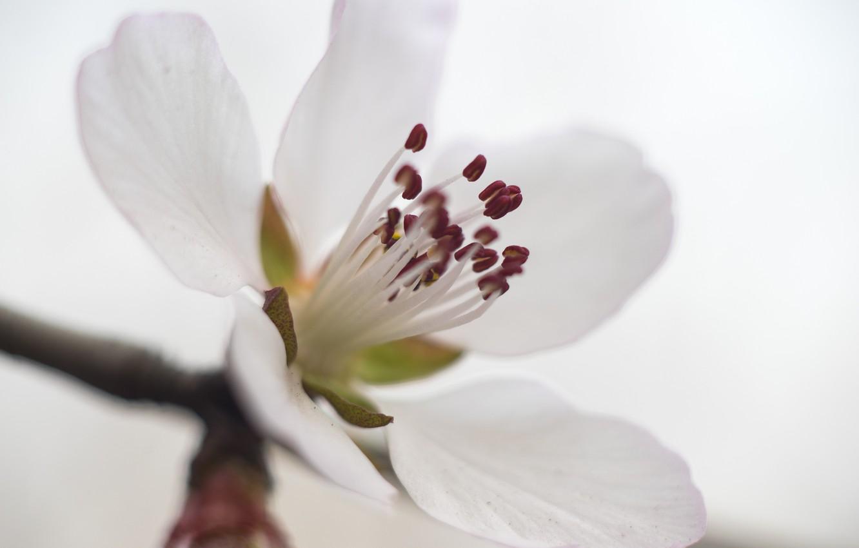 Фото обои white, flower, macro