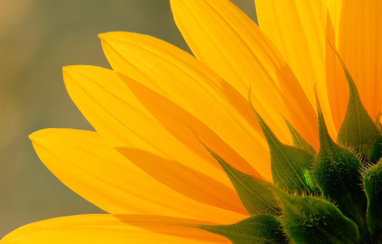 Фото обои цветок, подсолнух, лепестки