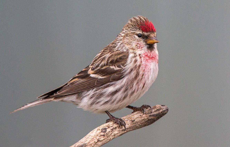 Картинки чечетки птицы