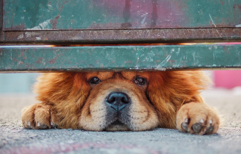 Фото обои взгляд, забор, собака, Чау-чау