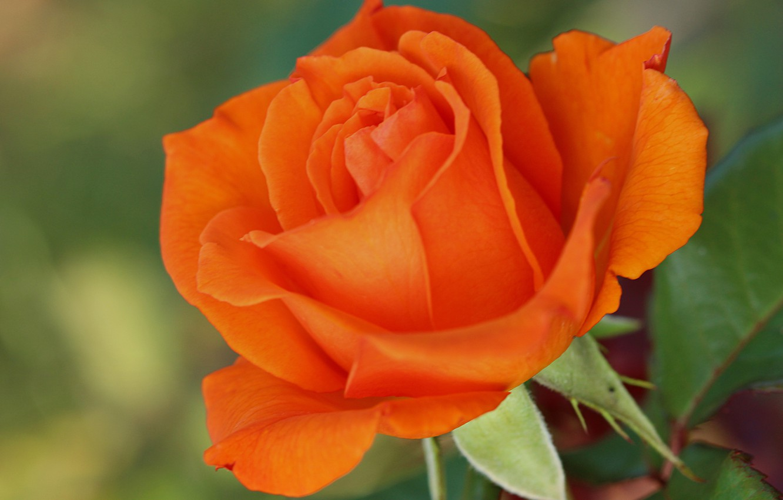 Роза карандашом фото фото