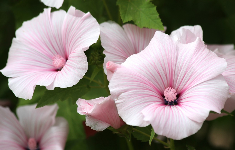 цветы лаватера фото вовсе