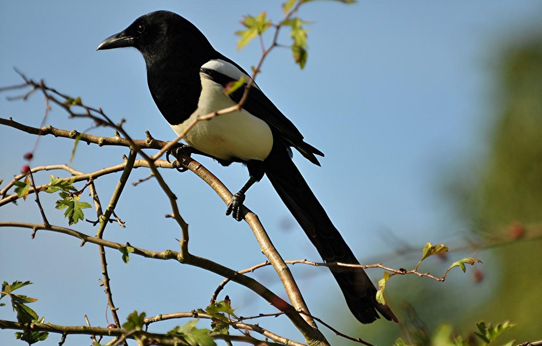 Фото обои птица, ветка, клюв, хвост, сорока