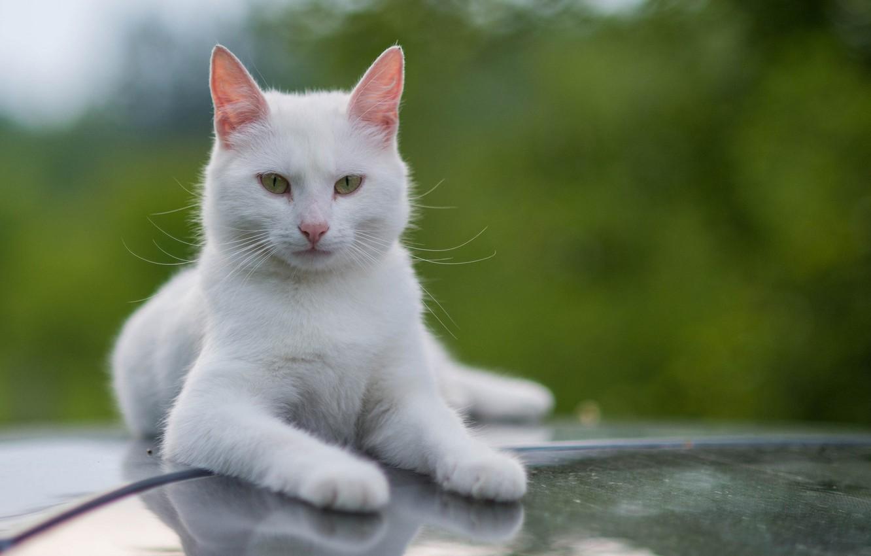 Фото обои белый, кот, усы, взгляд, котэ