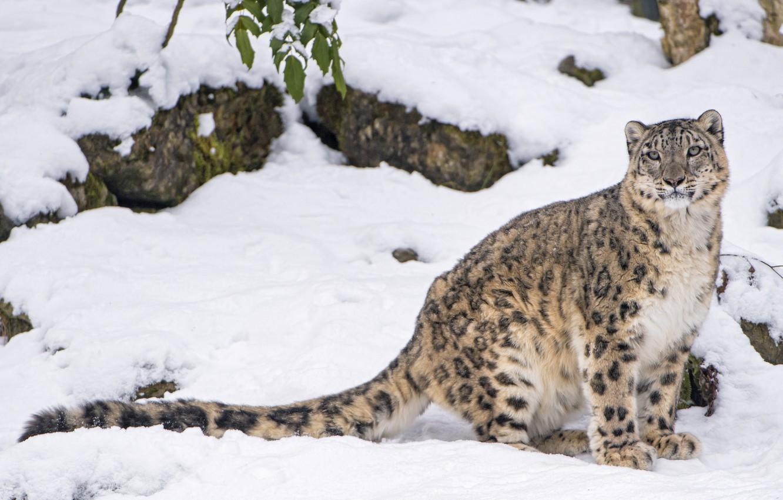 Фото картинки снежного барса высадки того
