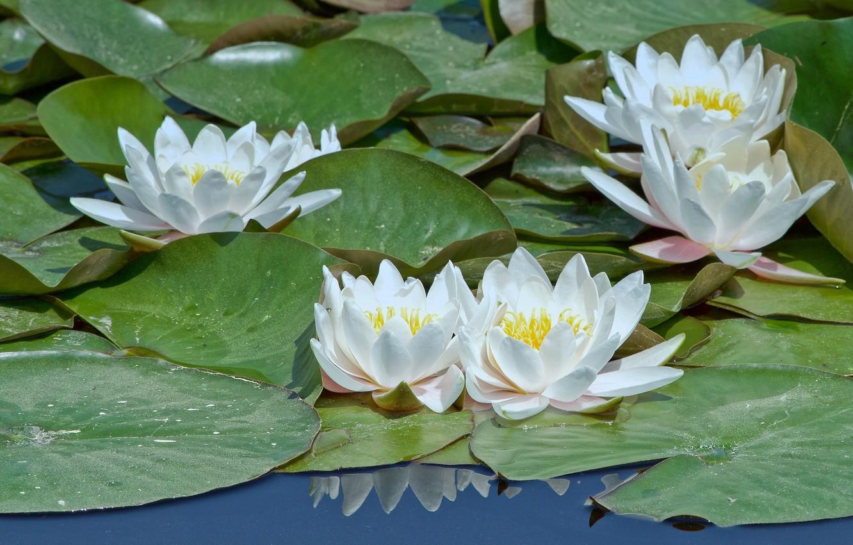 картинки белых лилий на воде пожелание доброго утра