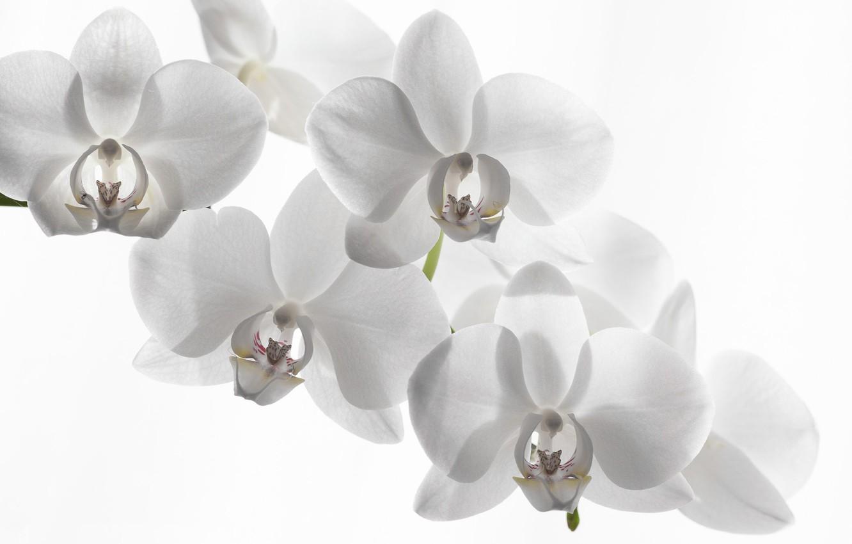 Орхидеи на белом фоне фото