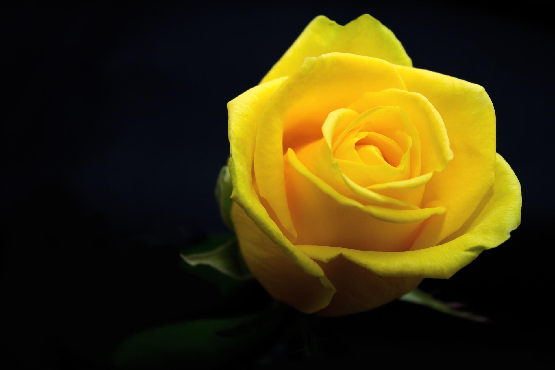 yellow love rose - HD1560×1040