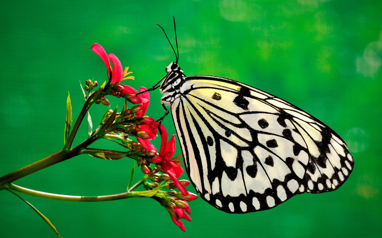 Обои На Стол Бабочки