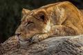 Картинка дикая кошка, профиль, морда, львица, отдых, хищник, лежит