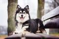 Картинка собака, настроение, Финский лаппхунд, скамейка