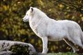 Картинка арктический, осень, ветки, камень, полярный, листья, профиль, арктический волк, белый, волк, природа