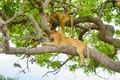 Картинка львы, природа, ветви, лежат, листья, львицы, зелень, на дереве
