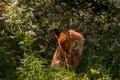 Картинка лиса, трава, сидит, лето, зелень, фон, рыжая, лисица, свет, цветы, дикая природа, поза