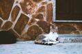 Картинка кошка, кот, улица, шерсть, лежит, смотрит