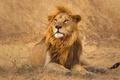 Картинка природа, зверь, лев