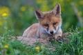 Картинка трава, морда, фон, портрет, лиса, детеныш, дикая природа, лисица, лисенок, лисёнок
