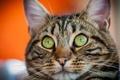 Картинка полосатый, кот, морда, зеленый