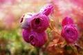 Картинка ранункулюсы, боке, розовые розы, размытость
