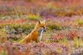Картинка трава, цветы, природа, Аляска, лиса, США, обыкновенная лисица, Denali National Park and Preserve