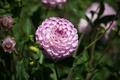 Картинка георгина, Боке, Bokeh, Розовый цветок, Pink flower, Dahlia
