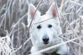 Картинка Белая швейцарская овчарка, морда, трава, взгляд, собака