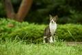 Картинка кот, трава, зелень, фон, кусты, полосатый, прогулка, природа, сад, серый с белым, серый, зеленый, парк, ...