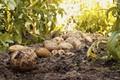 Картинка земля, картошка, природа