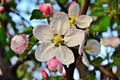 Картинка весна, цветение, лепестки, листья, цветок, макро, яблоня, бутон