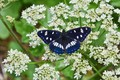 Картинка макро, цветы, бабочка, Ленточник голубоватый