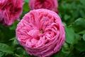 Картинка Розовая роза, Rose, Роза, Pink rose