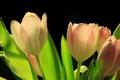 Картинка листья, весна, лепестки, тюльпан