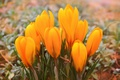 Картинка Crocuses, Крокусы, Yellow crocuses