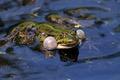 Картинка макро, вода, лягушка
