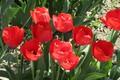 Картинка клумба, красные тюльпаны, апрель, весна 2018, Meduzanol ©