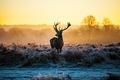 Картинка Deer, dusk, horns