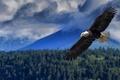 Картинка высота, размах, полёт, крылья, белоголовый орлан, хищная птица